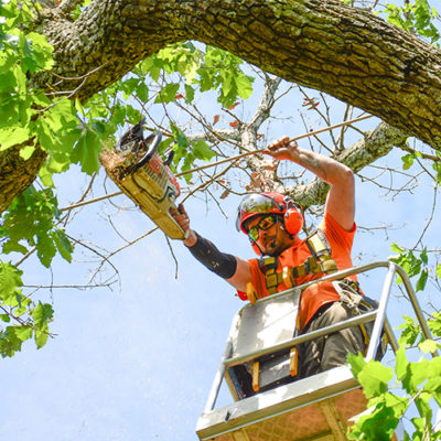 Tree Limb Trimming in Birmingham, AL provided by the Birmingham tree experts at Champion Tree Service